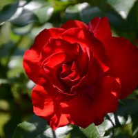 Алая роза :: Ирина Н