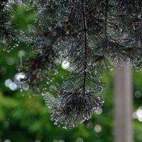 Сосна и дождь... :: Юрий Анипов