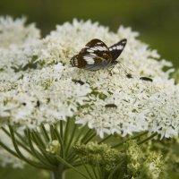 Бабочка на цветке :: Ольга Гурьянова