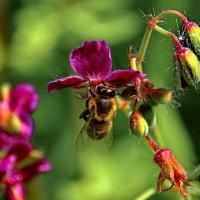 Пчела в поисках нектара. :: Пётр Сесекин