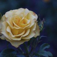 Таинственная роза.. :: Сашенька)