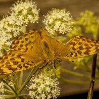 Раненая бабочка :: Олег Мартоник