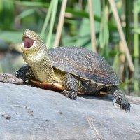 Болотная черепаха. :: Светлана Ивановна Медведева