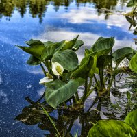 Цветы на озере :: Олег Чернов