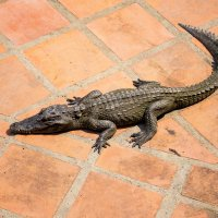 Крокодил :: Den Ermakov