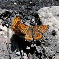 бабочки :: doberman
