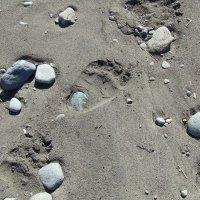 Следы медвежонка на морском берегу :: Татьяна Панова