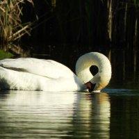 Лебедь :: Денис Гладких