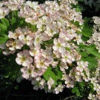 Весны цветение :: Vera