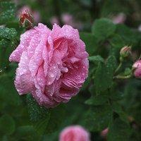 Розовый аромат после дождя :: Виктория Смирнова