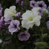Цветочный хоровод-172. :: Руслан Грицунь