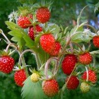сладка ягода... :: Галина Филоросс