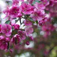 Яблоня в цвету :: Елена