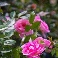 ..розы :: Elena Tatarko (фотограф)