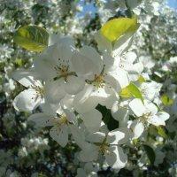 Цветение в солнечный день :: Стас Борискин (Stanisbor)