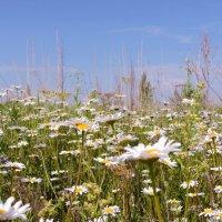 Ромашки в поле :: Ната Волга
