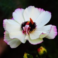 Красивый цветок ... :: Damir Si
