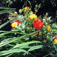 Мои любимые розы! :: раиса Орловская