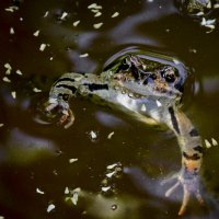 Царевна-лягушка :: ник. петрович земцов