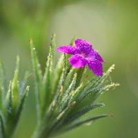 Аленький цветочек :: Петр Заровнев
