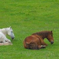 На лугу пасутся кони .... :: Николай Танаев