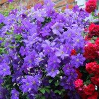 Клематисы в саду. :: Валентина ツ ღ✿ღ