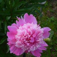 Его любит Запад, Россия, Восток,  достоин похвал этот чудный цветок. :: Galina Leskova