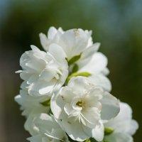 Чебушник-садовый жасмин :: Иван Щербина