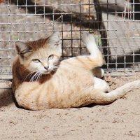 Барханный кот :: Аркадий