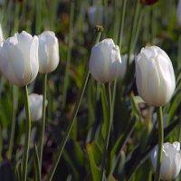 Белые тюльпаны :: Valerii Ivanov