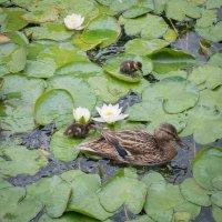 уточки в пруду :: Астарта Драгнил