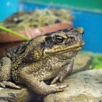 Солидная жаба :: Sergey Lebedev