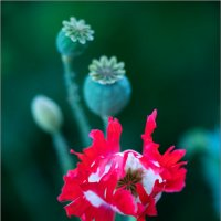 poppies16-3 :: yameug _
