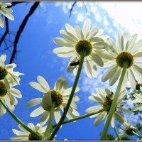 Ромашки смотрят в небо :: Андрей Заломленков