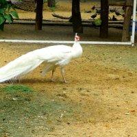 Птицы в парке(белый Павлин)... :: Тамара (st.tamara)