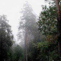 Сосны  в  тумане....... :: Валерия  Полещикова