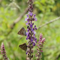 2 бабочки на цветке :: Irina Seliverstova