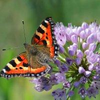 Аллиум с бабочкой :: И.В.К. ))