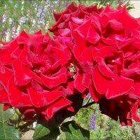 Пылающие розы :: Нина Корешкова