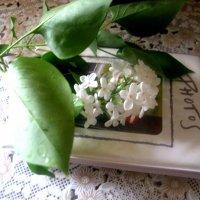 Белая сирень на память :: Елена Семигина