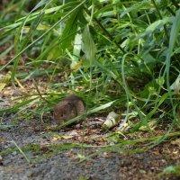 Мышка полёвка :: Natalia Harries