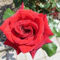 О роза! Королева сада! Твое бесспорно волшебство! :: Елена Павлова (Смолова)