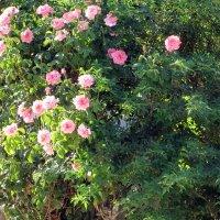 Розовый куст :: Герович Лилия