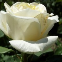 Роза белая... :: Тамара (st.tamara)
