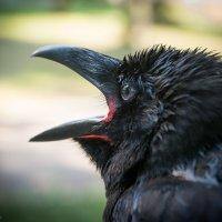 Чёрный ворон :: Владимир Клещёв