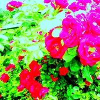 Плетистая роза :: Лебедев Виктор