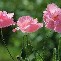 Пора цветения :: И.В.К. ))