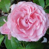 О роза! Ты прекрасна! Ты свет зари и солнца ясного. :: Елена Павлова (Смолова)