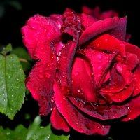 Вечерняя роза после дождя :: Ольга