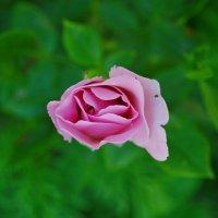Роза :: Маргарита Орловская
